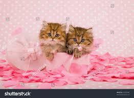 beautiful kittens valentine pink box rose stock photo 67263040