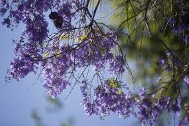 Tree With Purple Flowers Slideshow Iseechange Why Southern California U0027s Jacaranda Trees