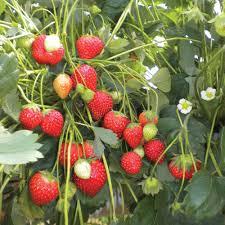 strawberry plants at thompson morgan