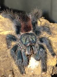 a pictorial guide to my tarantula collection dave the bug