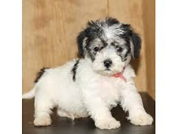 puppies for sale dogs and puppies for sale petland