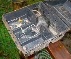 Which Of The Following Was Included In Washington S Cabinet Rats Living With Wildlife Washington Department Of Fish U0026 Wildlife
