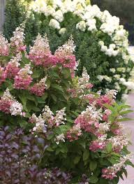 Plants For Dark Rooms by Pinky Winky Panicle Hydrangea Hydrangea Paniculata Proven