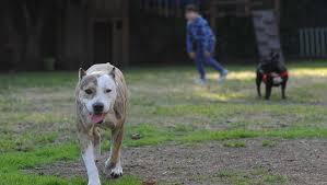 american pitbull terrier 9 meses pitbull atacó a una beba de 9 meses que está grave