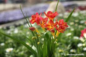freesia flower freesias flowers flowers fragrant freesia flowers
