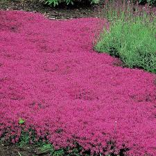 creeping thyme gardens ground covering and plants