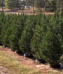 live christmas trees live trees motley s christmas tree farm rock arkansas