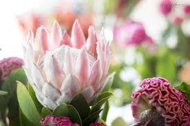 protea flower king protea flower moxie