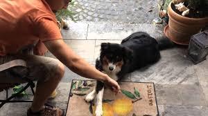australian shepherd 1 jahr alt australian shepherd cleos hundetricks 2014 ein rückblick auf ein