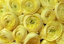 yellow peonies yellow peonies background stock image image of marriage