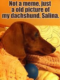 dachshund imgflip