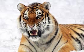Eye Of The Tiger Meme - tiger wallpaper qygjxz