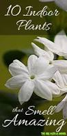 Fragrant Indoor House Plants - top 10 houseplants that smell great interior plants