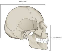 free printable anatomy coloring pages skull bones anatomy coloring pages human brain anatomy coloring