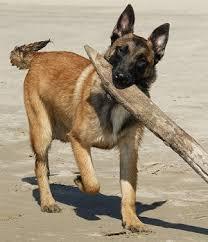 belgian sheepdog traits belgian shepherd health problems feeding raising a puppy