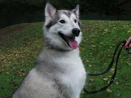 lobo u2013 5 year old male siberian husky dog for adoption