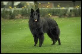 belgian shepherd rescue california belgian sheepdog puppies and dogs for sale in usa