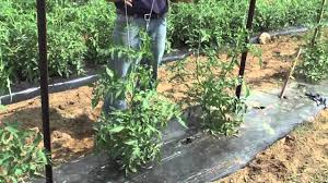 how to grow tomatoes trellis youtube