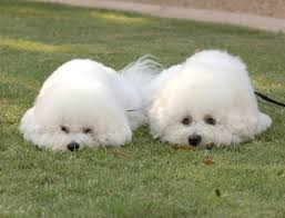 bichon frise years 499 best baby bichons images on pinterest bichons puppies and