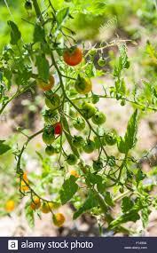 cherry tomato plant stock photos u0026 cherry tomato plant stock