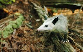 are opossums good in the garden news u0026 observer