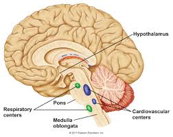 Anatomy And Physiology Ear Chapter 11