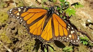 san diego look out for guys monarch butterflies times