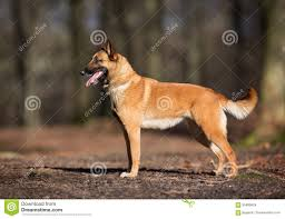 belgian malinois dog purebred belgian malinois dog stock photo image 55989624