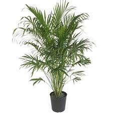 delray plants cat palm in 10 pot walmart