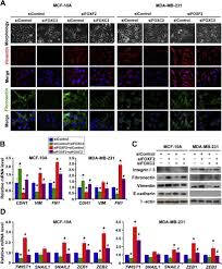 foxf2 suppresses the foxc2 mediated epithelial u2013mesenchymal