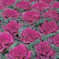let s talk ornamental cabbage and kale dambly s garden center