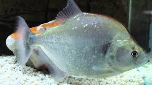 Aquascape Online Geryi Violet Line Piranha Available At Aquascapeonline Com Youtube
