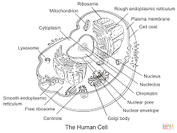 human cell coloring page free printable coloring pages