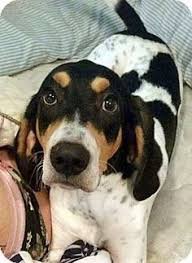 bluetick coonhound figurine dog finder adopt a dog or cat near you photos mixed and