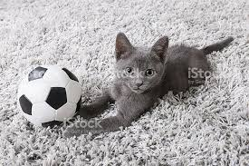 kitten blue russian cat playing with soccer ball on rug stock