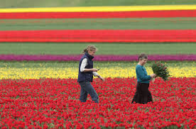 around the world tulips turn hillsides into colorful patchwork