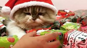 19 Awesome Grumpy Cat Christmas - this cat jealously guards his presents youtube