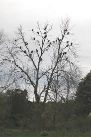 file a murder of crows perched in a in tree spies road freedom