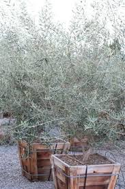 arbequina olive tree olive trees garden ideas