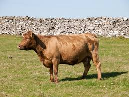 Backyard Cattle Raising Raising Dexter Cattle U2014 The Smallest Cattle Breed In North America