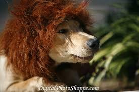 Lion Halloween Costumes Dogs Diy Dog Costumes Halloween Pedigree Foundation