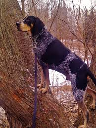 bluetick coonhound westminster the 42 best images about bluetick coonhound on pinterest