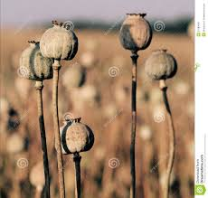 Opium Field Of Opium Poppy Stock Images Image 20117004