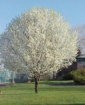 bradford pear trees image captured in staunton va april 2013