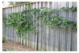 Vine Trellis Ideas How To Grow Passionfruit U2014 The Veggie Lady