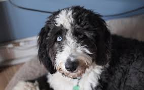 australian shepherd upkeep aussiedoodle dog breed australian shepherd poodle mix