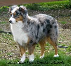 australian shepherd 3d model australian shepherd smart working dog red merle australian