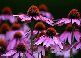 Obat Imunos daftar nama bunga lengkap beserta gambar dan penjelasannya