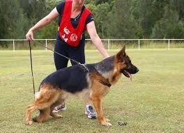 south australian german shepherd breeders german shepherds south australia home facebook
