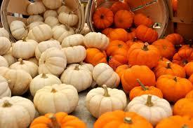 white pumpkins mini orange and white pumpkins stock photo image of thanksgiving